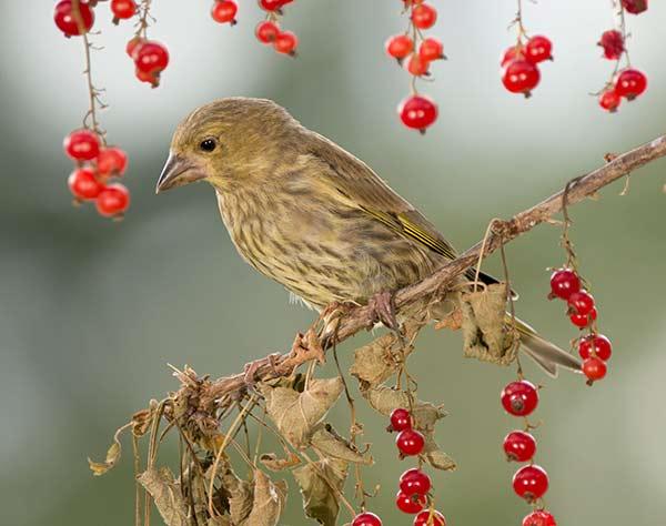greenfinch eating berries in tree