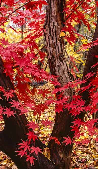 red leaves of the japanese maple