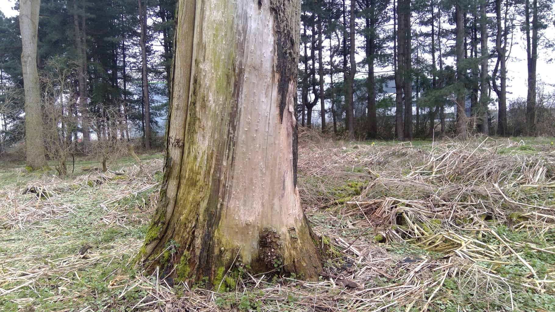 A poplar tree with bark damage