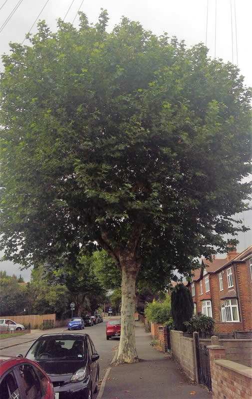 Large tree in middle of pavement in Nottingham