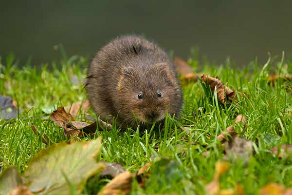 ecology surveys: water vole